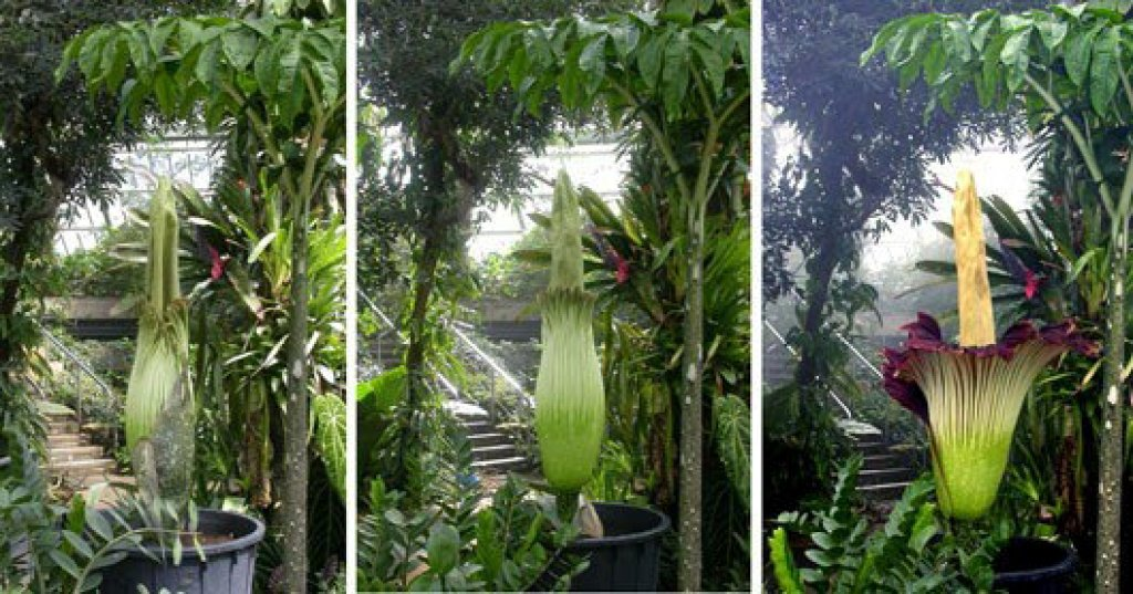 Corpse flower: The largest flower in the world